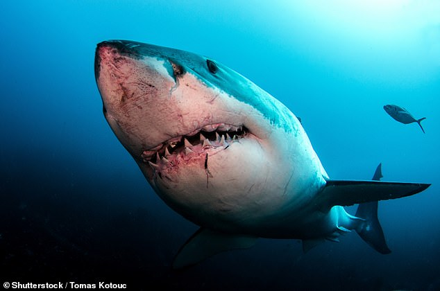 A member of the public reported seeing a great white shark in the water shortly before the scuba diver was attacked (stock)