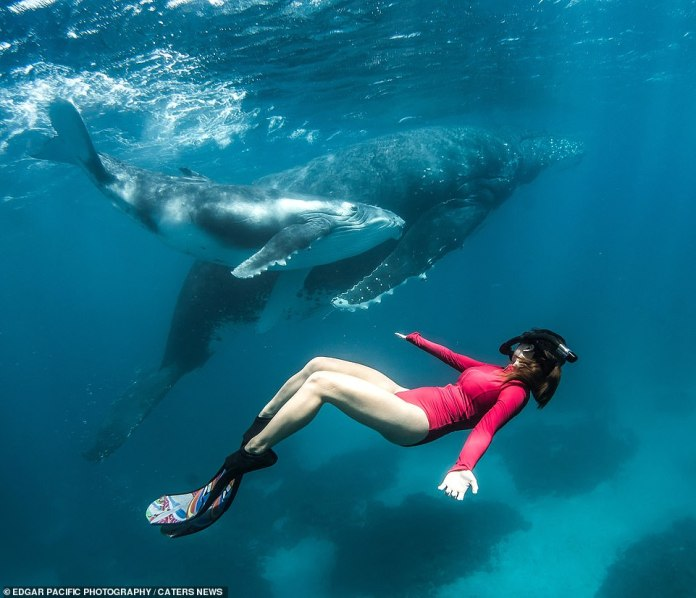 Alice is pictured above swimming just yards away from the humpback whales as she copies them in the water. The calm creatures even seemed unbothered by her presence as she swam with them for the photographs