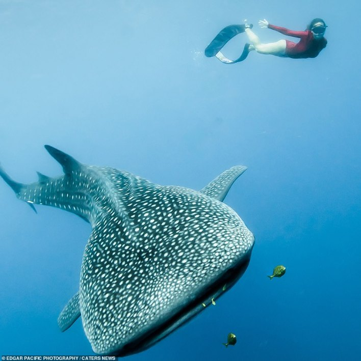 The pair took shots with whale sharks in the Philippines. Alice is pictured mirroring one of these whale sharks as she swims