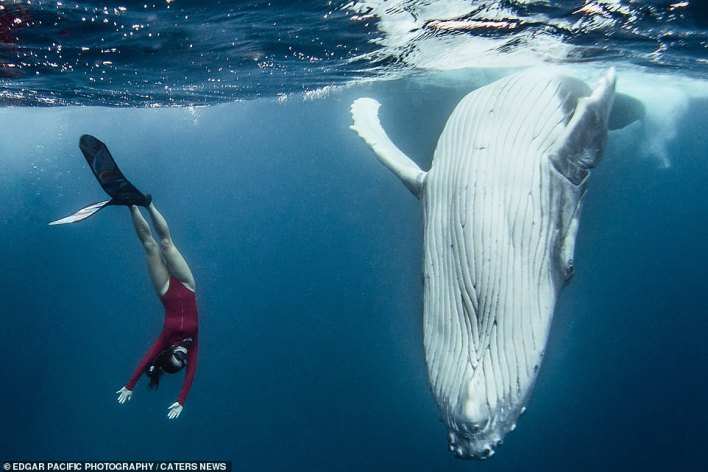 Underwater photographer David Edgar, 30, took photos of his wife Alice, 31, freediving next to the ocean beast as she synchronised her swimming. The pair are pictured diving into the water at the same angle
