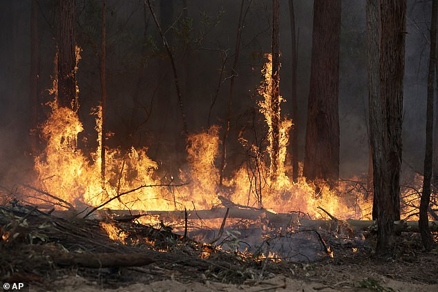 Flames from a controlled fire burn up tree trunks as firefighters work at building a containment line at a wildfire near Bodalla, Australia