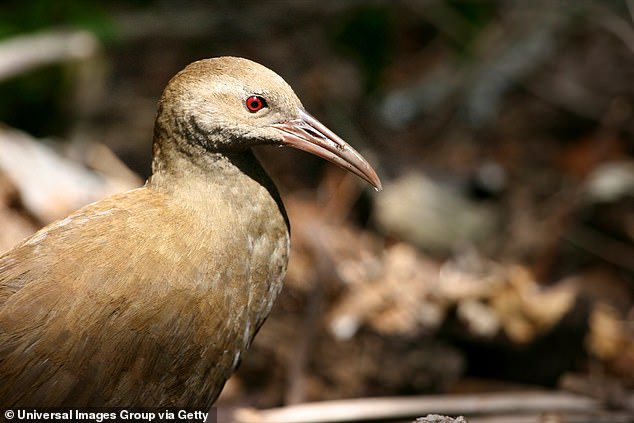 The Lord Howe woodhen were threatened with extinction for the second time last year, after the island's rodent population exploded