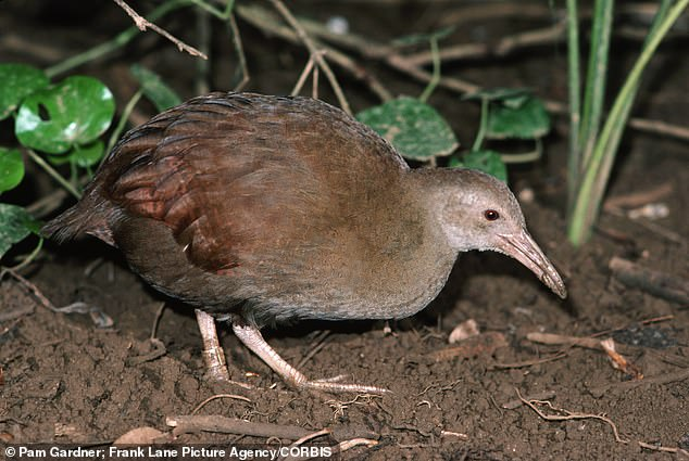 After safely reintroducing the woodhen to its natural habitat, researchers have turned their attention to studying the effects of the rodent extermination on the island's ecosystem
