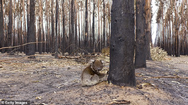 Koalas solely rely on the leaves of Eucalyptus trees, also known as gum trees, for food but many have been burnt, meaning there is no food to eat. Pictured: A young koala next to a burn t tree on Kangaroo Island