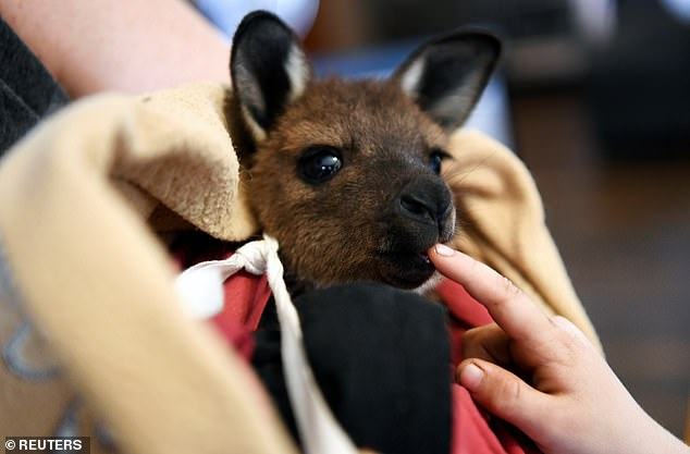 Despite the bleak and depressing experience, Ms Lewis said it was the hope of helping surviving animals that kept her going. Pictured: An orphaned joey nibbles on a child's finger at theWildlife Emergency Response Centre on Kangaroo Island