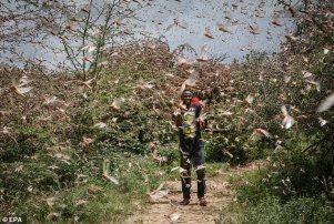 Um fazendeiro local Theophilus Mwendwa tenta afugentar um enxame de gafanhotos do deserto perto de Enziu, Kitui County, cerca de 200 km a leste da capital Nairobi, Quênia