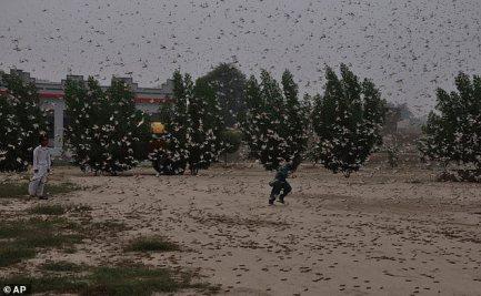 Crianças paquistanesas tentam evitar gafanhotos que pululam em Rahimyar Khan, Paquistão