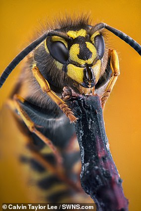 Pictured, a common wasp, also known as 'Vespula vulgaris'