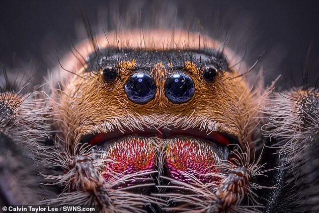 Mr Lee, who hails from Scunthorpe, Lincolnshire, said that it took him just four attempts to capture an image of the spider that he was happy with. Pictured, the jumping spider