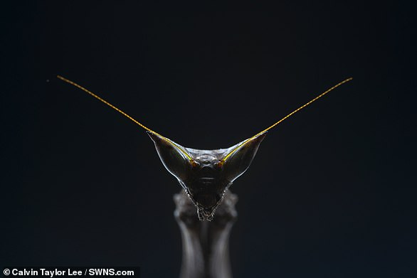 Pictured, a close-up of Heterochaeta orientalis, the giant African stick mantis