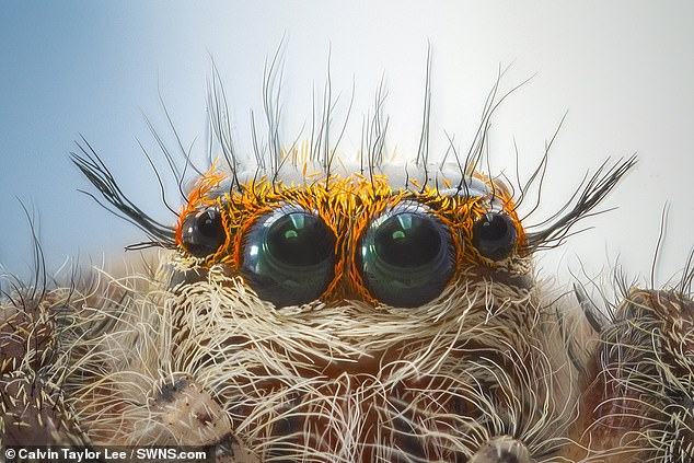 Professional photographer Calvin Taylor Lee has captured incredible close-up shots of a jumping spider that show its every fine hair and eye in magnificent detail