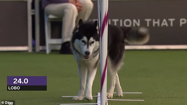 The adorable husky, who hails from Pen Argyl, Pennsylvania, was off to a good start in the 24-inch class competition when he got distracted by a camera