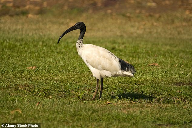 Australian White Ibises, also known as 'bin chickens' are commonly seen strolling the streets of Sydney