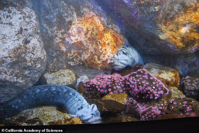 The California Academy of Sciences have Monkeyface Prickleback fish in an aquarium where they are studied. The eel like species are not true eels but bony fish