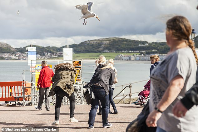 The findings of the study led by animal behaviour experts Laura Kelley and Madeleine Goumas of the University of Exeter builds on previous work which found that staring at seagulls makes them less likely to steal food. Pictured, a seagull steals an ice cream cone from a tourist