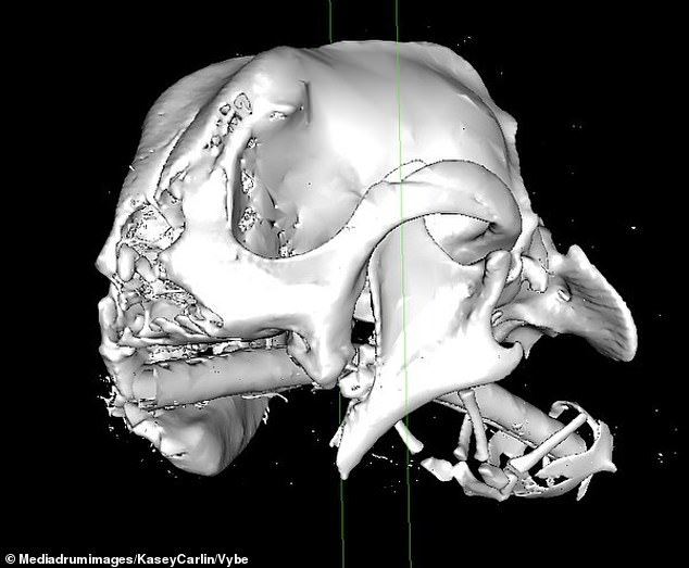 An x-ray of Millie's head, with her entire face left 'shattered' following the attack, in which she was stomped on and shot in the face multiple times