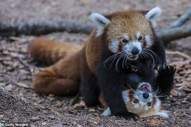 The Himalayan red pandas,Ailurus fulgens (pictured) is one of the two regional varieties of red panda studied by researchers