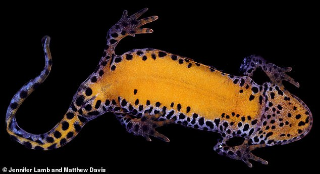 Close-up of the Alpine newt (Ichthyosaura alpestris). The study suggests the ability to emit the fluorescent glow after absorbing light energy may be widespread in amphibians, including those that weren't used in the study