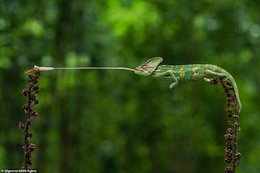 Indonesian photographer@georock888 said of this incredible photograph showing a long-tongued chameleon in Jakarta: 'I had to wait a long time to take this shot! It took a lot of patience. I had to adjust the speed on the camera when the chameleon ate his dinner (which was a dragonfly!)'