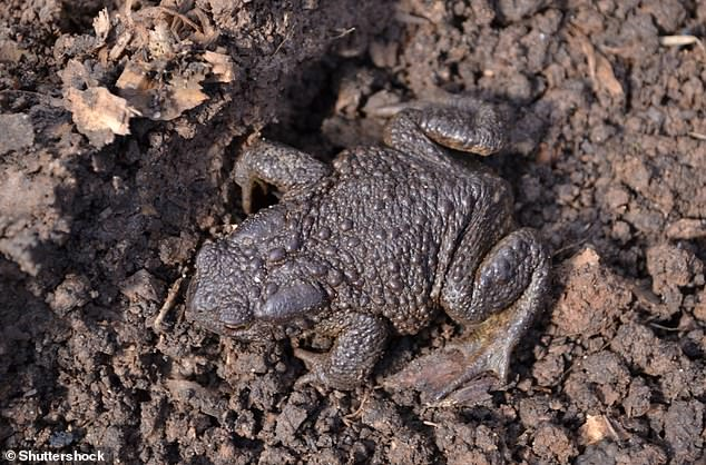The black pimply earth toad woke up from hibernation. Toads also hibernate throughout the winter, in mud at the bottom of lakes, concealed in logs or tucked under leaf litter