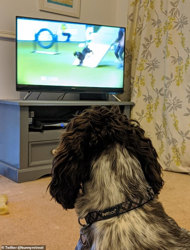 According to Milton Keynes' owner Michelle Baulch, Norman loves watching the agility rounds at Crufts