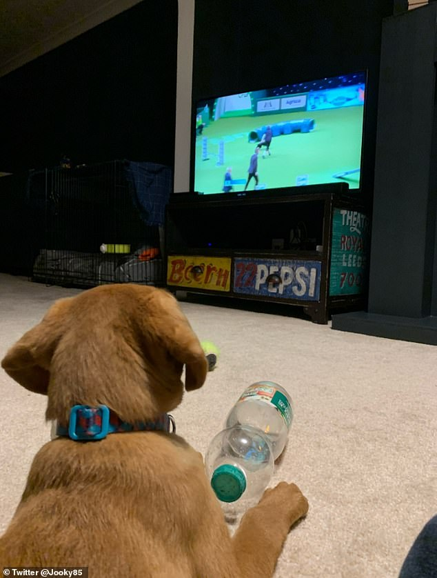 Peter Brock, of Middlesbrough, posted this beautiful photo of the 10-week-old Fox Red Labrador Bixby watching Crufts. He joked: