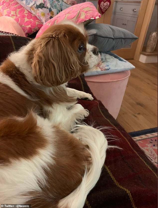 Carmen from the UK posted this photo of her cute little dog Miss Daisy while looking at Crufts' agility from the comfort of her sofa