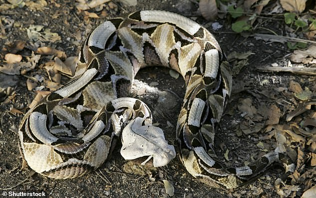 A gaboon viper (Bitis gabonica), an extremely venomous snake that has fangs up to 2 inches in length.A gaboon viper was advertised on the listings website Preloved by Staffordshire pet shop The Unconventional Menagerie