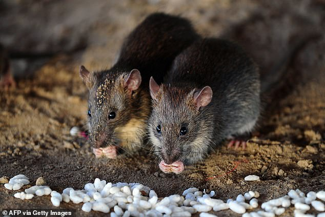 Hantavirus - from rats - caused death of man on bus in China ...