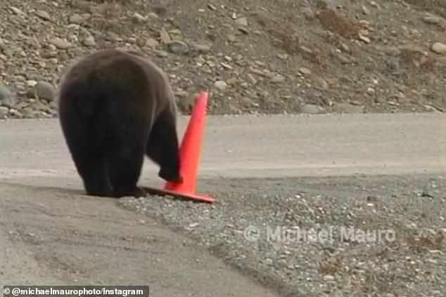 Finally, the bear is able to stand the cone up fully after using both its mouth and paw