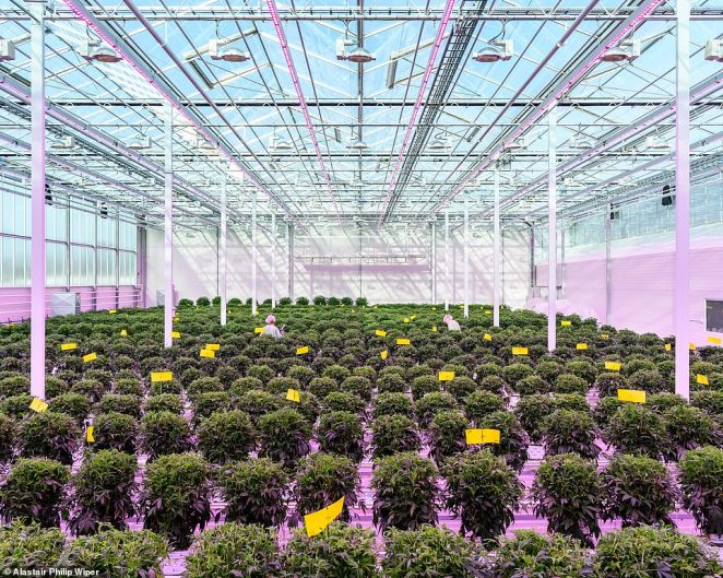 Aurora Nordic medicinal cannabis greenhouse, Denmark: Mads Pedersen, a third-generation tomato grower, is the owner of Scandinavia's largest tomato-growing empire, Alfred Pedersen & Sons, the book explains. Around 2015 Mads realized that his infrastructure and know-how could be applied to growing medicinal cannabis. Mads's new idea coincided with a huge surge in Danish public interest - and political debate - about medical cannabis, and, just as his plans were coming to fruition, the Danish parliament began issuing trial licenses to produce medical cannabis. Mads snapped up the first one and began building a 60,000-square-metre facility, the largest in Europe