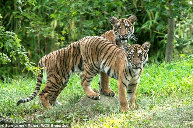 Nadia (before) was tested with too much caution after developing a dry cough and decreased appetite. Six other zoo cats, including Nadia's sister Azul (rear), two Amur tigers and three African lions, also suffered from possible coronavirus symptoms, WCS said.
