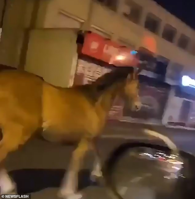 The zebra, joined by two horses (one of which is in the photo), made its way to the neighboring town of Champigny-sur-Marne on the outskirts of Paris where the locals could not believe their eyes when he was running along the road