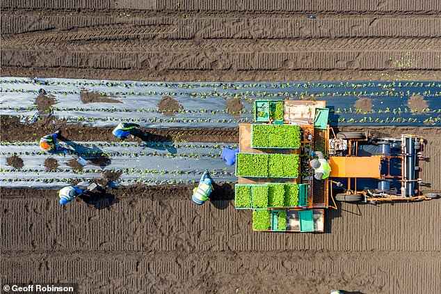 Farm workers at G's Growers plant celery in a field near Ely, Cambridgeshire, Friday morning after the company chartered a robbery of Romanian workers to work in fields in the UK.