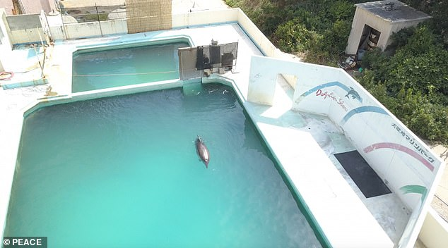 A dolphin which was dubbed the 'world's loneliest' after she was discovered at an abandoned Japanese aquarium has died. Pictured: Honey the dolphin in the tiny pool at theMarine Park Aquarium in the city of Choshi, east of Tokyo