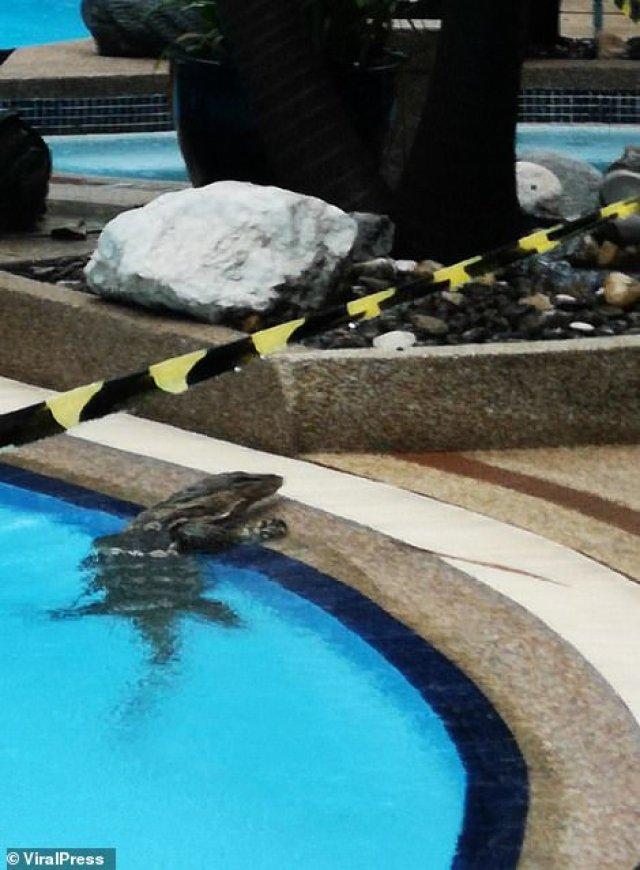 A wild monitor lizard