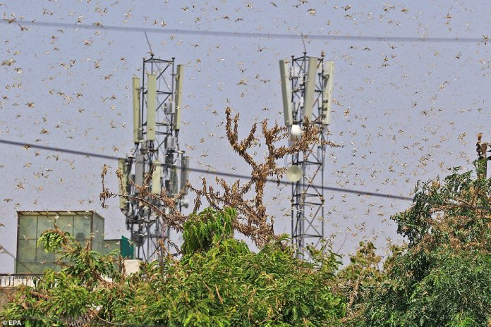A desert locust swarm has been known to be up to 460 square miles in size, packing between 40 and 80 million insects into less than half a square mile