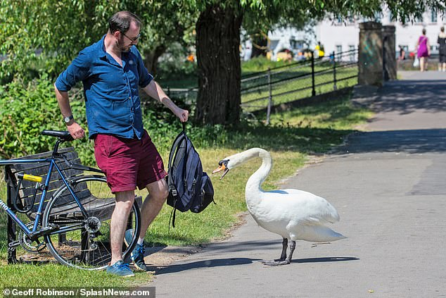 The feathered fiend, who is now a fully-fledged swan, was nicknamed Asbaby as a youngster when he pecked petrified punters on the famous Backs