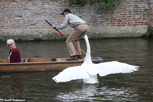 The Swan pictured above is Asboy father of Asbaby a family of vicious Swans