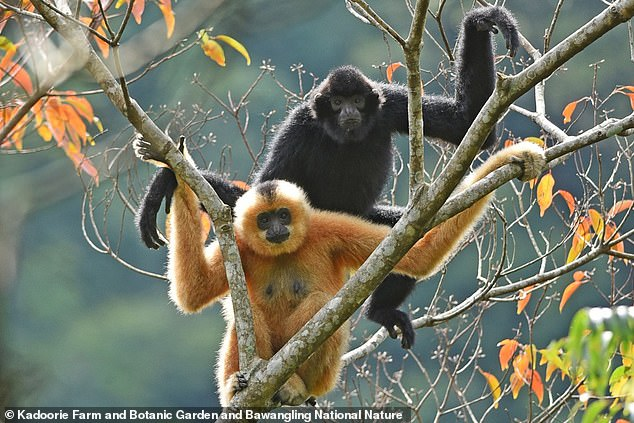 A critically endangered primate on the verge of extinction appears to be recovering after conservationists discovered a new breeding pair