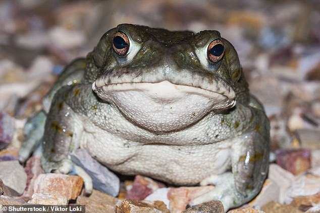 Colorado River Toad is a rare species originating from the Sonora Desert from northern Mexico to California and Arizona, which emits a poison containing a powerful natural psychedelic substance known as 5-MeO-DMT