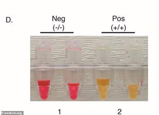 Using a simple-color code, red means negative and yellow means positive (above). Researchers say this test is faster, cheaper and easier than other diagnostics on the market