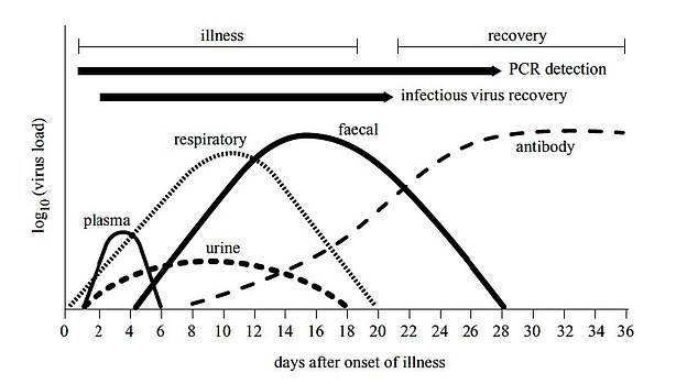 A paper produced in late January suggested that people were least infectious in the first few days after they caught the virus, with the peak of viral shedding from the breath - when the viruses are being expelled from the body - coming about 10 days after infection. It persisted for longer and at higher amounts in faeces, the study suggested