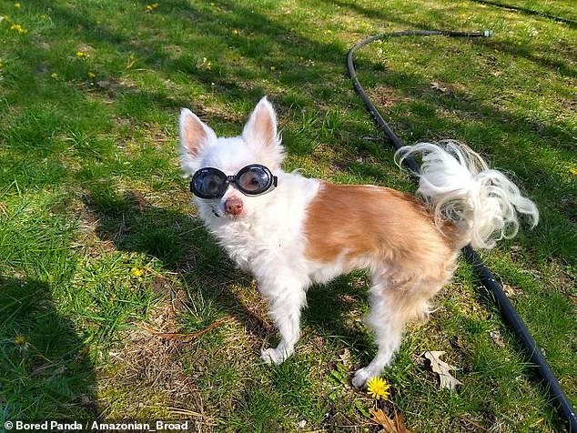 This 15-year-old Chihuahua from Massachusetts had sensitive eyes, so her owner had to invest in a pair of special sunglasses