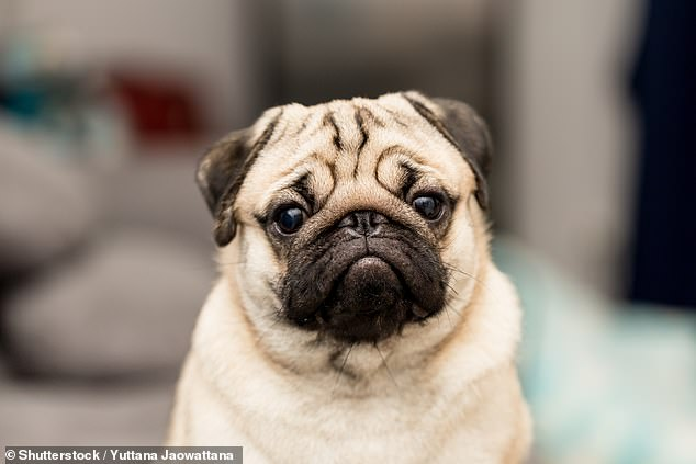The team found that temperatures exceeded 25°C in every month of the year, which is high enough to cause overheating in brachycephalic breeds – those with flat faces – such as bulldogs, French bulldogs and pugs (pictured)