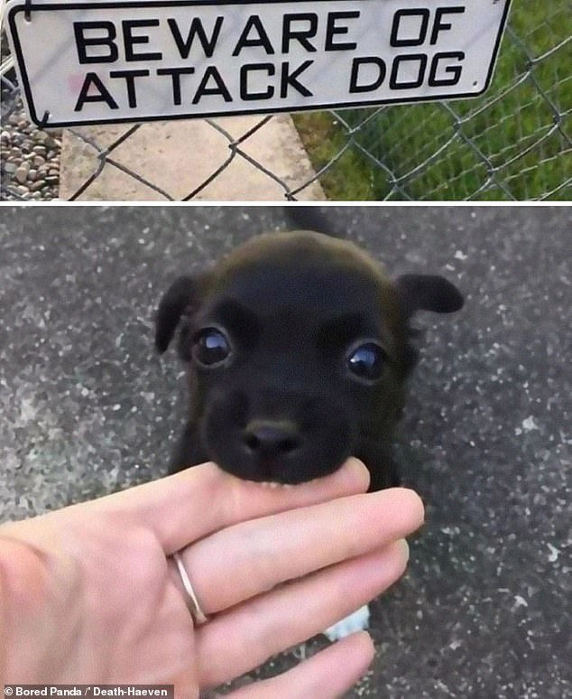 Rawr! Who would want to come face to face with this terrifying 'attack' dog based in the United-States