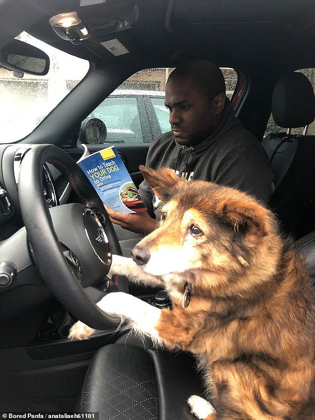 Ready four a raw-d trip? This little pup from the US was ready for her driving test and felt confident behind the wheel
