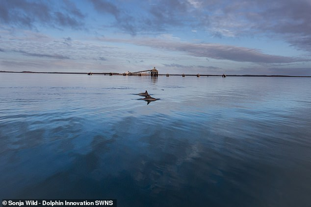 'The fact that shelling is socially transmitted among dolphin peers rather than between mother and offspring sets an important milestone,' said paper author and anthropologist Michael Krützen of the University of Zurich in Switzerland