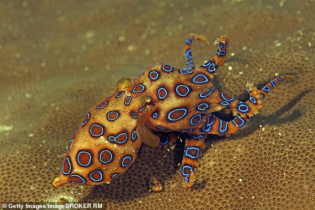 The blue ringed octopus has enough poison to kill 26 adult humans within minutes