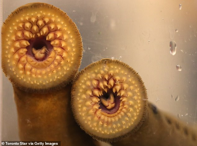 The sea lamprey has been seen in Vermont's lakes and rivers, prompting f